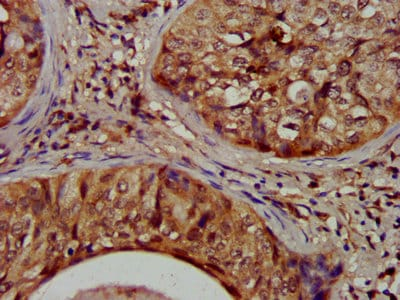 Immunohistochemistry (Formalin/PFA-fixed paraffin-embedded sections) - Anti-NIT1 antibody (ab237043)