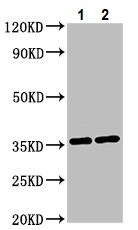 Western blot - Anti-NIT1 antibody (ab237043)