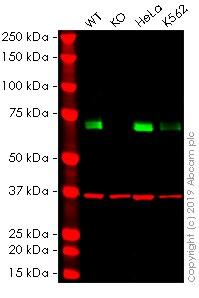 Western blot - Anti-HSF1 antibody [EP1710Y] (FITC) (ab237150)