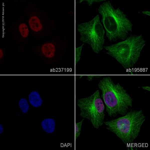 Immunocytochemistry/ Immunofluorescence - Anti-PPAR gamma antibody [EPR18516] (Alexa Fluor® 647) (ab237199)
