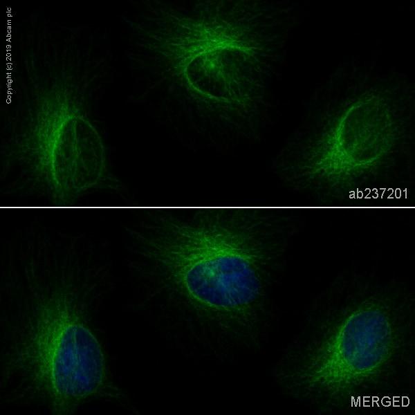 Immunocytochemistry/ Immunofluorescence - Anti-beta IV Tubulin antibody [EPR16776] (Alexa Fluor® 488) (ab237201)