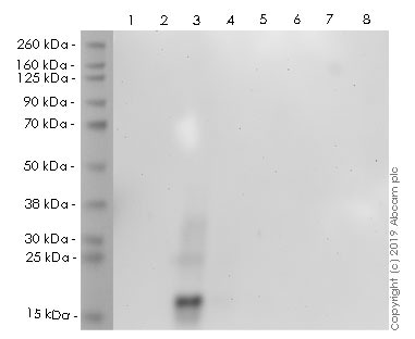Western blot - Anti-Ubiquitin (linkage-specific K27) antibody [EPR17034] (HRP) (ab237256)