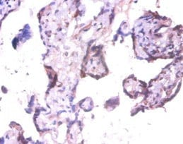 Immunohistochemistry (Formalin/PFA-fixed paraffin-embedded sections) - Anti-EXTL3 antibody (ab237484)