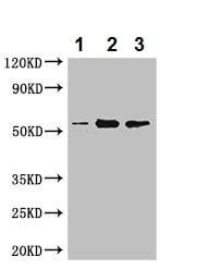 Western blot - Anti-PAH antibody (ab237487)