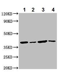 Western blot - Anti-C1orf69/IBA57 antibody (ab237489)