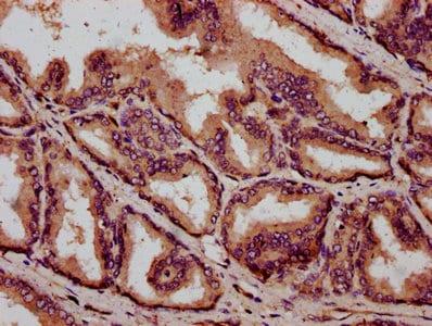 Immunohistochemistry (Formalin/PFA-fixed paraffin-embedded sections) - Anti-C1orf69/IBA57 antibody (ab237489)