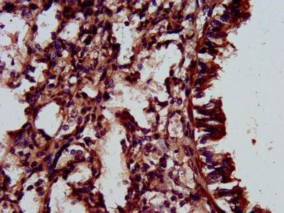 Immunohistochemistry (Formalin/PFA-fixed paraffin-embedded sections) - Anti-RBED1/ELMOD3 antibody (ab237508)