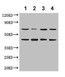 Western blot - Anti-DAZAP1 antibody (ab237519)