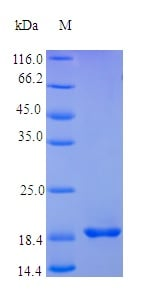SDS-PAGE - Recombinant human LIF protein (Active) (ab237549)