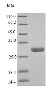 SDS-PAGE - Recombinant Adamalysin 2 protein (His tag) (ab237551)
