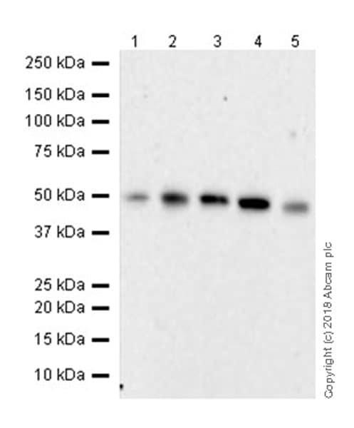 Western blot - Anti-C9orf72 antibody [EPR22021] - BSA and Azide free (ab237589)