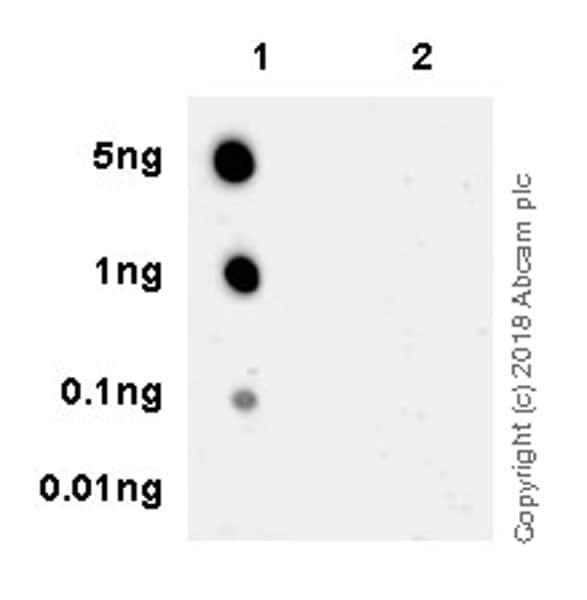 Dot Blot - Anti-NF-kB p65 antibody [EPR21781] - BSA and Azide free (ab237591)