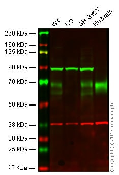 Western blot - Anti-BACE1 antibody [EPR3956] - BSA and Azide free (ab237595)