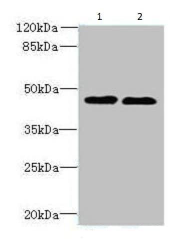 Western blot - Anti-THIK-1 antibody (ab237624)