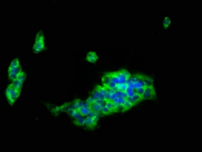Immunocytochemistry/ Immunofluorescence - Anti-LILRB1 antibody (ab237625)