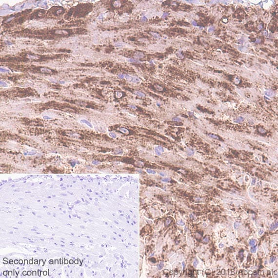 Immunohistochemistry (Formalin/PFA-fixed paraffin-embedded sections) - Anti-Natriuretic peptides A antibody [EPR22089-283] - BSA and Azide free (ab237632)