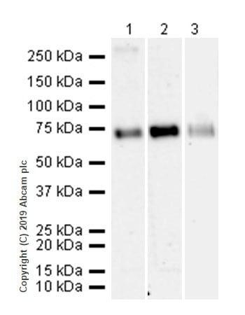 Western blot - Anti-SLC1A5/ASCT2 antibody [CAL33] (ab237704)