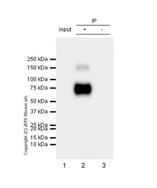 Immunoprecipitation - Anti-SLC1A5/ASCT2 antibody [CAL33] (ab237704)