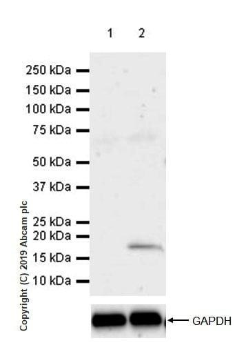 Western blot - Anti-LAG-3 antibody [CAL25] (ab237718)