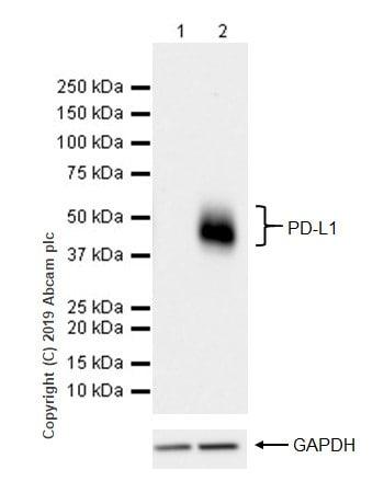 Western blot - Anti-PD-L1 antibody [CAL10] (ab237726)