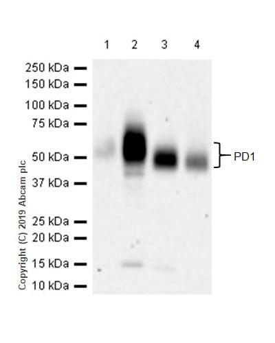 Western blot - Anti-PD1 antibody [CAL15] (ab237727)
