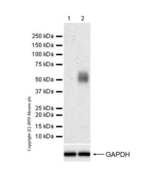 Western blot - Anti-PD1 antibody [CAL20] (ab237728)