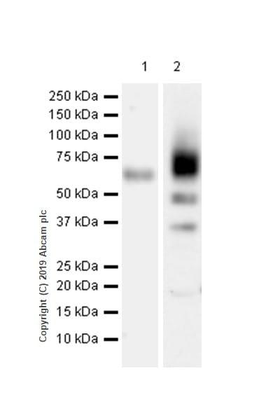 Western blot - Anti-SLAMF7/CS1 antibody [CAL7] (ab237730)