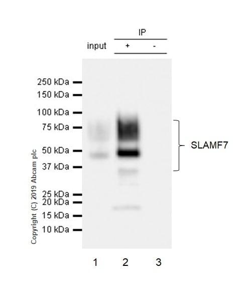 Immunoprecipitation - Anti-SLAMF7/CS1 antibody [CAL7] (ab237730)