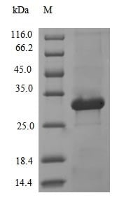 SDS-PAGE - Recombinant L3 protease protein (Tagged) (ab237743)