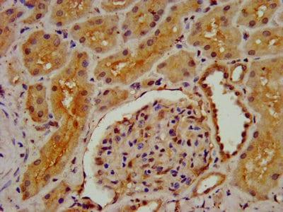 Immunohistochemistry (Formalin/PFA-fixed paraffin-embedded sections) - Anti-DMGDH antibody (ab237764)