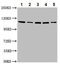 Western blot - Anti-USP48 antibody (ab237765)