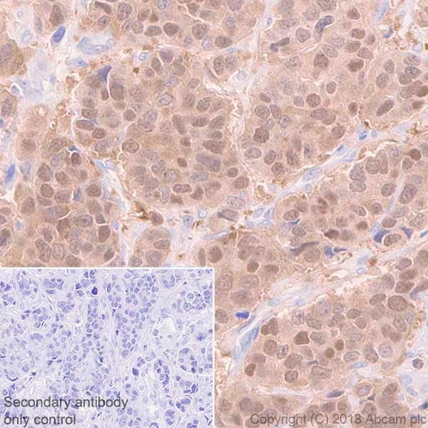 Immunohistochemistry (Formalin/PFA-fixed paraffin-embedded sections) - Anti-FKBP52 antibody [EPR21120] - BSA and Azide free (ab237779)