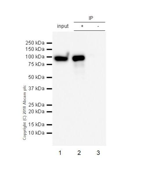 Immunoprecipitation - Anti-IL-4I1/LAO antibody [EPR22070] - BSA and Azide free (ab237783)