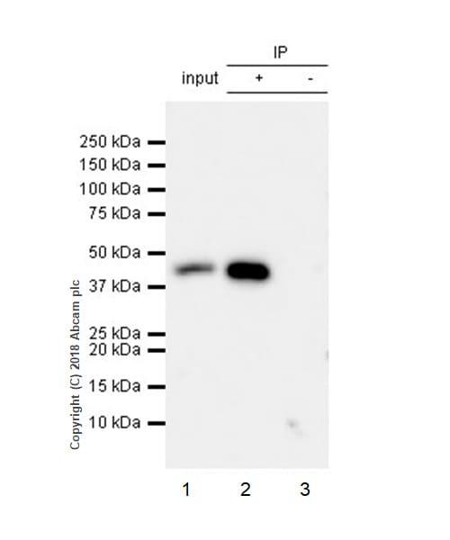 Immunoprecipitation - Anti-TATA binding protein TBP antibody [EPR21954] - BSA and Azide free (ab237785)
