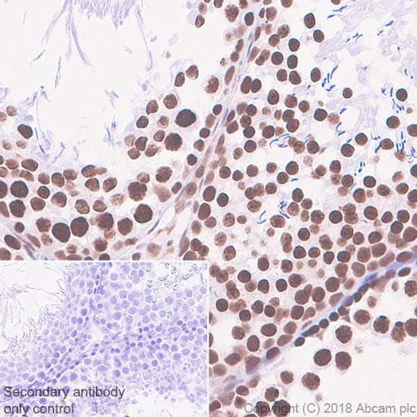 Immunohistochemistry (Formalin/PFA-fixed paraffin-embedded sections) - Anti-TATA binding protein TBP antibody [EPR21954] - BSA and Azide free (ab237785)