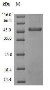 SDS-PAGE - Recombinant Human Subtilisin Carlsberg protein (Tagged) (ab237794)
