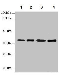 Western blot - Anti-SFXN4 antibody (ab237804)
