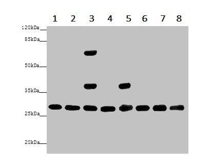 Western blot - Anti-14-3-3 alpha + beta antibody (ab237807)