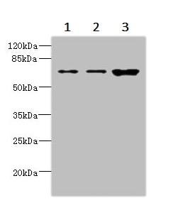 Western blot - Anti-SNX18 antibody (ab237808)