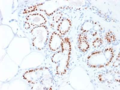 Immunohistochemistry - Free Floating - Anti-Estrogen Receptor antibody [ESR1/1935] - BSA and Azide free (ab237837)
