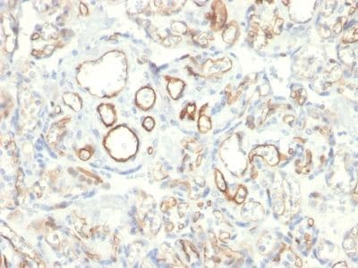Immunohistochemistry (Formalin/PFA-fixed paraffin-embedded sections) - Anti-PODXL antibody [PODXL/2185] - BSA and Azide free (ab237880)