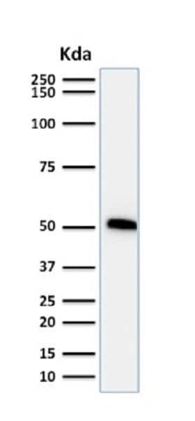 Western blot - Anti-p53 antibody [TP53/1739] - BSA and Azide free (ab237920)