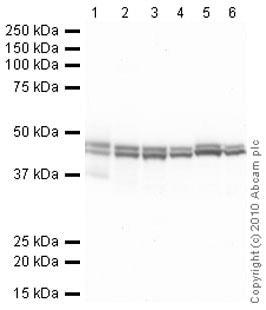 Western blot - Anti-CNPase antibody [11-5B] - BSA and Azide free (ab237961)