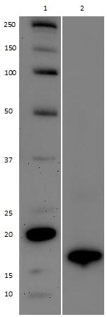 Western blot - Anti-Histone H3 (di methyl K9) antibody [mAbcam 52484] (ab237962)