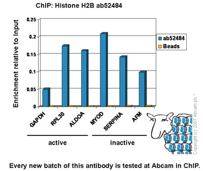 ChIP - Anti-Histone H2B antibody [mAbcam 52484] - BSA and Azide free (ab237964)