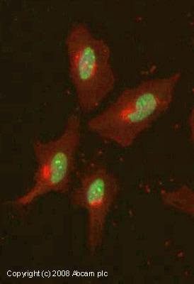 Immunocytochemistry/ Immunofluorescence - Anti-Histone H3 (tri methyl K4) antibody [mAbcam12209] - ChIP Grade – BSA and Azide free (ab237971)