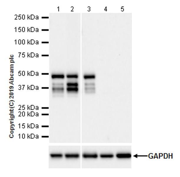 Western blot - Anti-Caspase-4 antibody [EPR20921-83] (ab238124)