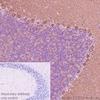 Immunohistochemistry (Formalin/PFA-fixed paraffin-embedded sections) - Anti-GABA B Receptor 1 antibody [EPR22954-47] (ab238130)