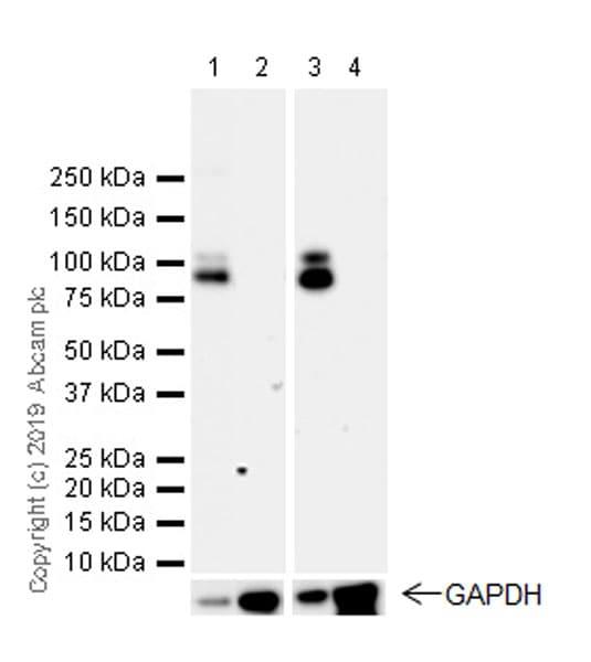 Western blot - Anti-GABA B Receptor 1 antibody [EPR22954-47] (ab238130)