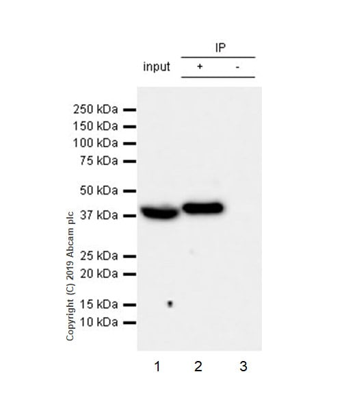 Immunoprecipitation - Anti-WWOX antibody [EPR23109-138] (ab238144)